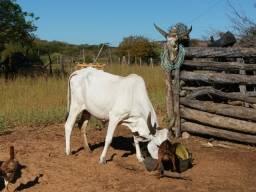 Bovinos (garrotes, novilhas, vacas) e Caprinos