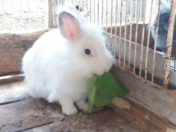 Vendo filhotinhos de coelho