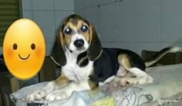 Beagles Macho Alta Genética