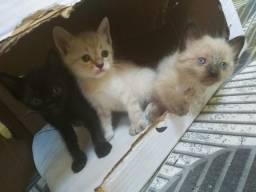 Gatos siamês 1 mes
