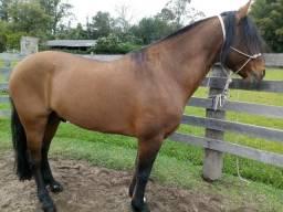 Cavalo Crioulo Confirmado