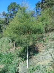 Hidrolato de Melaleuca - Tea Tree