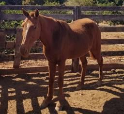Cavalo pra troca Ou venda