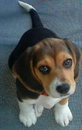 Beagle Fêmea Filhote com Pedigree Promo BFriday!!!!