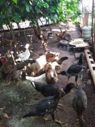Galos e frangos galinhas patos pintinho