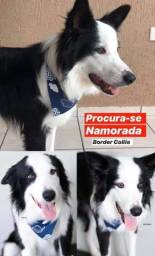 Procuro fêmea de border collie