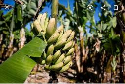 Muda de banana da Terra