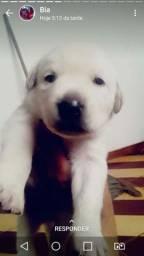 Filhote de Labrador puro