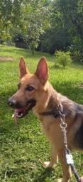 Dog Pastor Alemão
