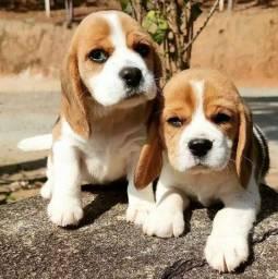 Título do anúncio: Beagle promoção só hoje