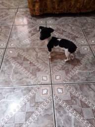 Vendo um cachorro pinche número 1 três meses