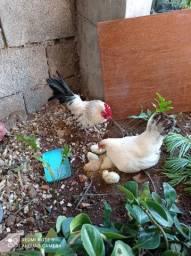 Galo garnisé + 1 galinha com 5 pintinhos