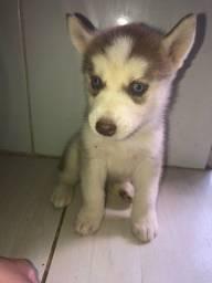 Husky Suberiano Puro dos olhos azuis