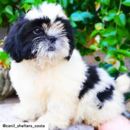 Shih Tzu Macho com Pedigree