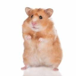 Grupo whatszap para hamster