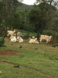 Vendo vacas e novilhas Nelore
