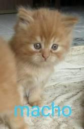 Vendo gatinhos persas