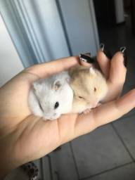 Hamster Anão Russo várias cores!!!