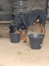 Rotwailler cachorro venda