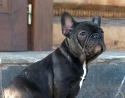 Buldog francês canil ps