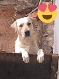 Doação de Labrador