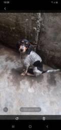 Beagle com fox 5 mês vendo e Troco