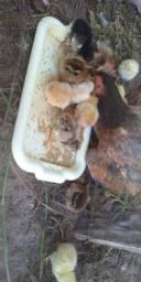 Estou vendendo algumas galinhas raças misturadas boas reprodutoras.. preço a combinar..