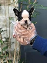 Bulldog Francês Lindos em loja