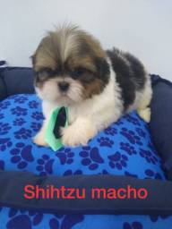FILHOTES DE SHIH TZU ( MACHO 1.000 ), ( FÊMEA 1.700 )