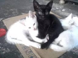Gato siames Mestiço