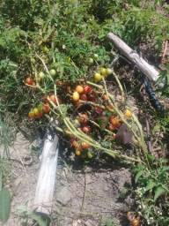 Vendo roça de tomate ..