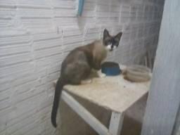 Doação de um gato siames Castrado