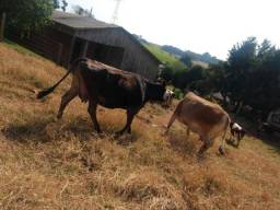 Título do anúncio: Vende-se 8 vacas para descarte!!