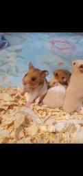 Título do anúncio: Criação completa Hamster Sírio