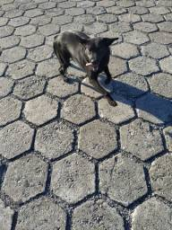 Cachorra Labrador filhote 1,5meses