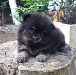 Lulu da Pomerania Black TAM