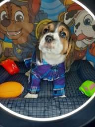 Beagle Macho Promoção