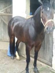 Cavalo crioulo 6 anos com papel