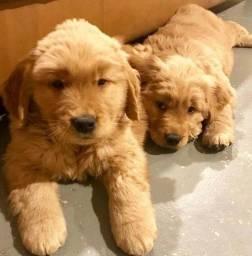 Belíssimos Filhotes de Golden Retriever