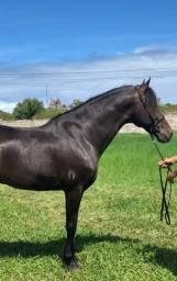 Cavalo machador puro