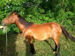 Égua Mansinha Barata