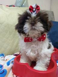 Vendo macho shih tzu chocolate e branco