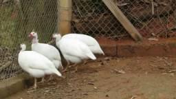 Ovos de galinha de Angola branca