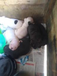 Vendo filhotes de Bulldog francês machos e fêmeas
