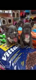 Filhotes de Bulldog francês blue padrão top , pra pessoas exigente