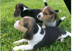 Filhotes de beagle 13 polegadas macho e fêmea