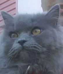 Gato macho persa