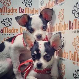 Título do anúncio: Lindos filhotes de Chihuahua