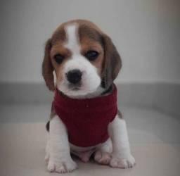 Título do anúncio: Incríveis filhotes de Beagle