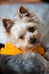 Título do anúncio: Yorkshire Terrier e sptiz alemão anão Branco disponível!!!